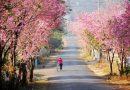 Con dốc Đa Quý – đường hoa anh đào rực rỡ nhất Đà Lạt